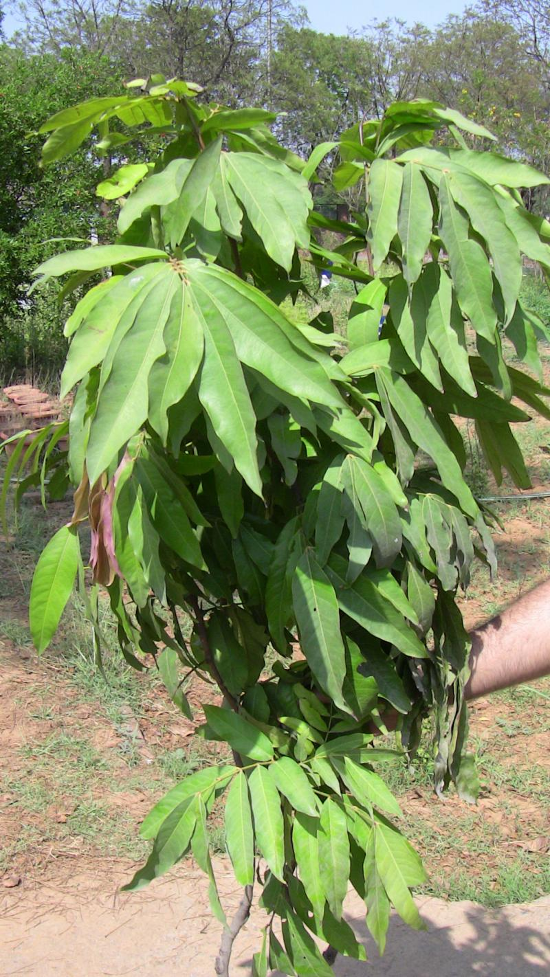 how to grow bilva patra tree